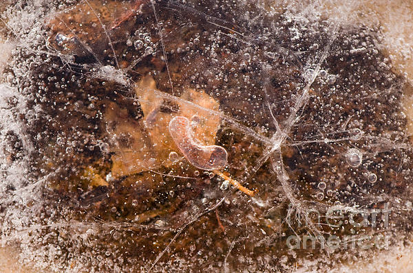 Leaf In Ice Print by Anne Gilbert