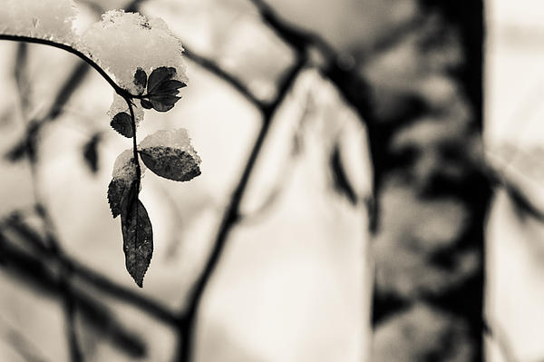 Leaves And Snow Print by Andreas Levi