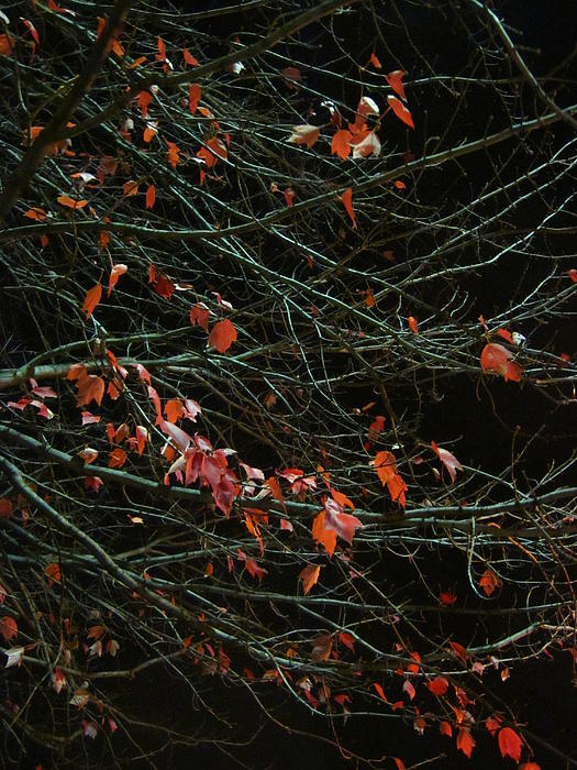 Leaves By Night Print by Guy Ricketts