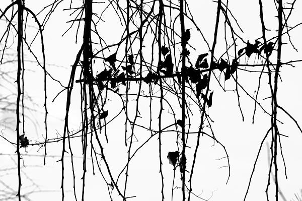 Leaves Print by Susie DeZarn