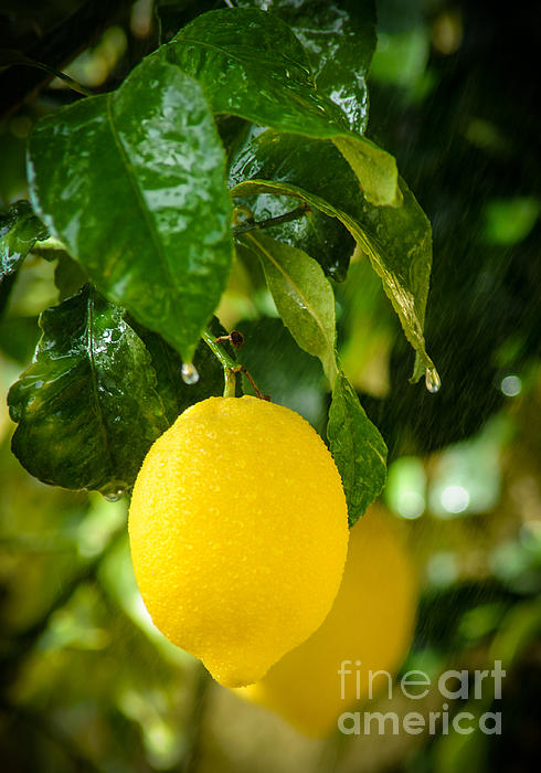 Lemon Down The Rain Print by Tetyana Kokhanets