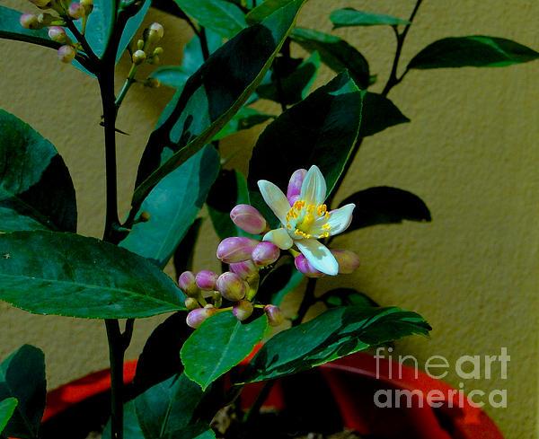 Lemon Tree Flower Print by Al Bourassa