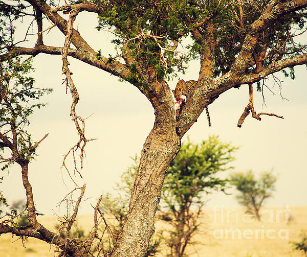 Leopard Eating His Victim On A Tree In Tanzania Print by Michal Bednarek