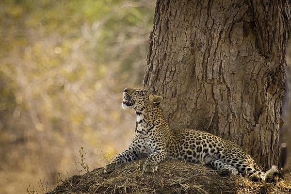Leopard Gazing Up Print by Alison Buttigieg