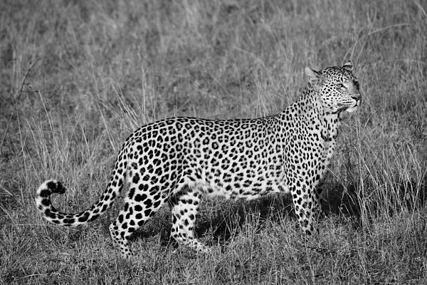 Christy Cox - Leopard Looking - BW