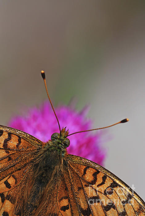 Lesser Spotted Fritillary Print by Amos Dor