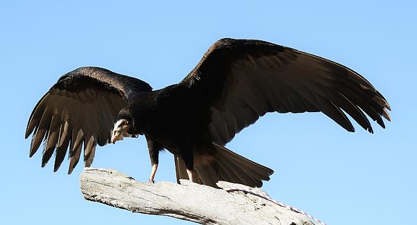Lesser Yellow Headed Vulture Print by Paulette Thomas