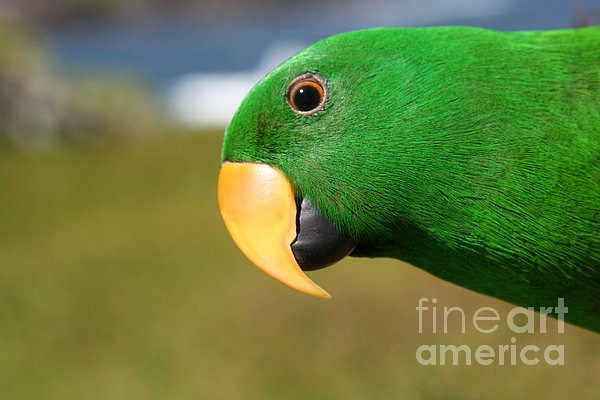 Sharon Mau - Light of Love - Eclectus Parrot