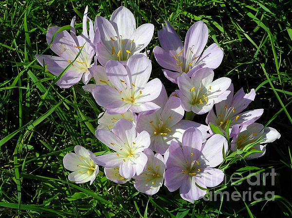 Kerstin Ivarsson - Light purple crocus flowers in spring