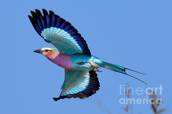 Lilac-breasted Roller In Flight Print by Johan Swanepoel