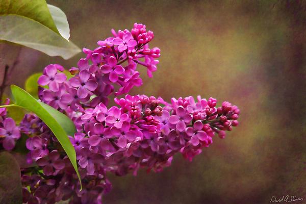 Lilacs Print by David Simons