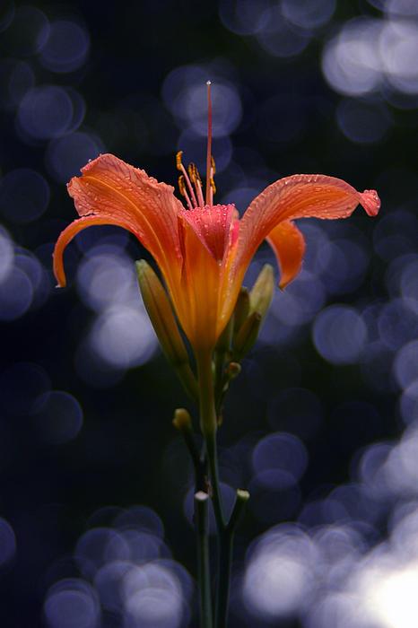 Lily After A Shower Print by Raymond Salani III