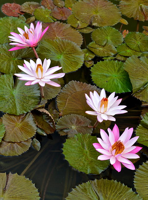 Lily Pad Haven Print by Frozen in Time Fine Art Photography