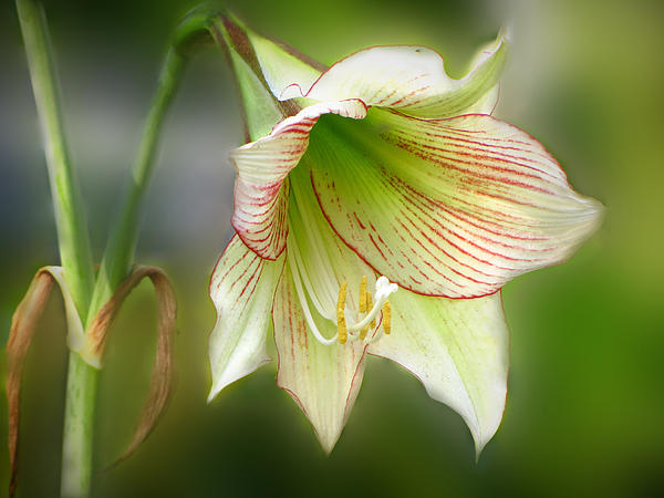 Lily Print by Phil Penne