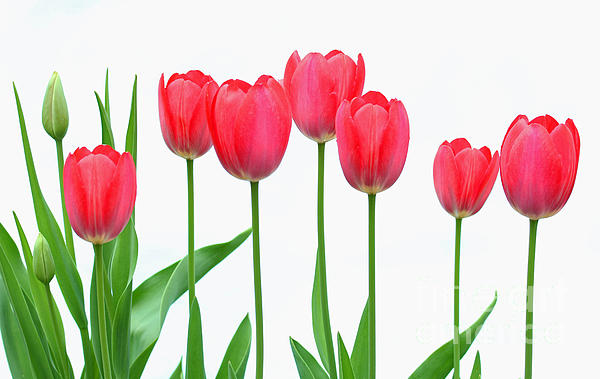 Line Of Tulips Print by Steve Augustin