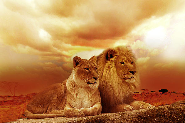 lion couple without frame print by christine sponchia. Black Bedroom Furniture Sets. Home Design Ideas