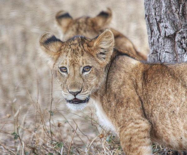 Dawn J Benko - Lion Cub