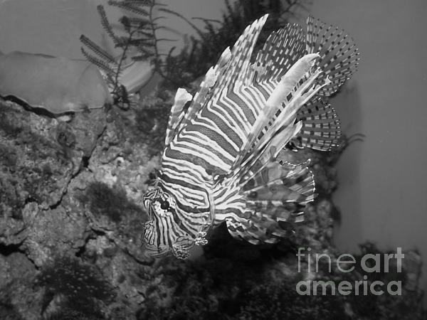Lion Fish Black And White Print by TN Fairey