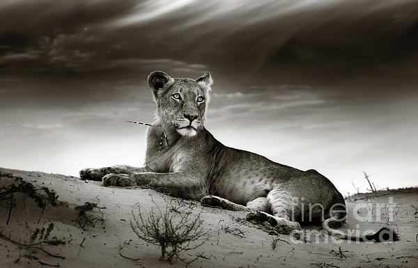 Lioness On Desert Dune Print by Johan Swanepoel
