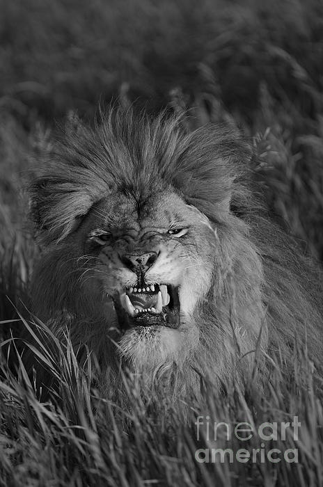 Lions Courage Print by Wildlife Fine Art
