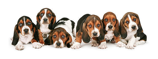 Litter Of Basset Hound Puppies Print by Susan  Schmitz