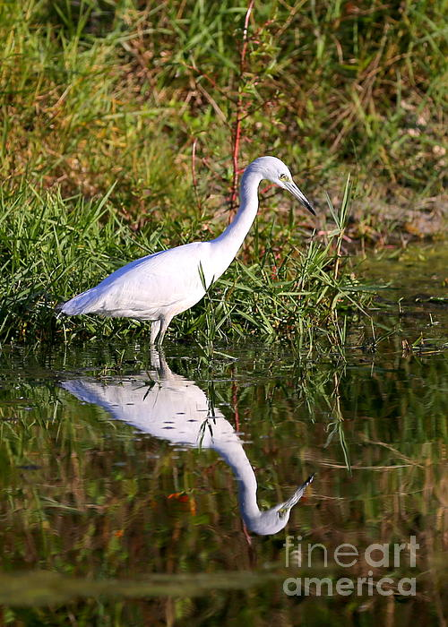 Carol Groenen - Little Blue Heron in Pond