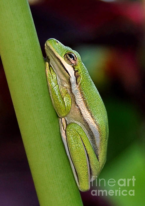 Kathy Baccari - Little Green Tree Frog