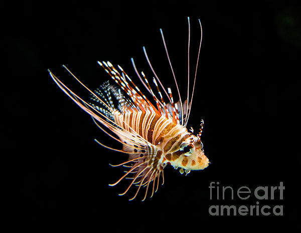 Little Lionfish Print by Jamie Pham