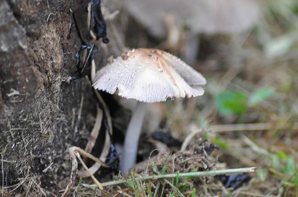 Little Mushroom Print by Bill Cannon