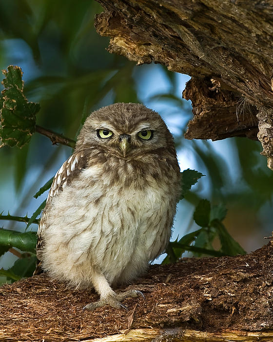 Paul Scoullar - Little Owl