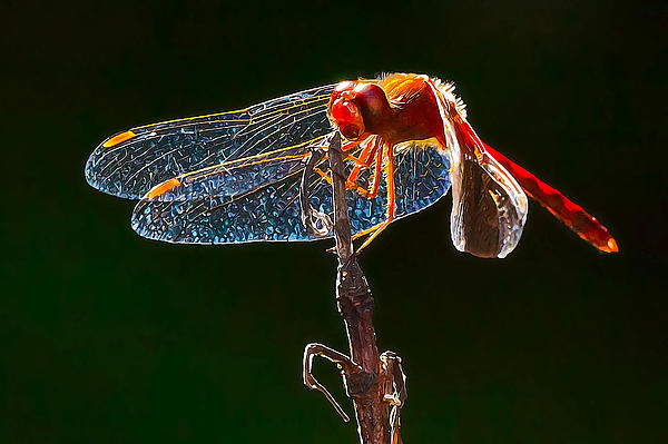 Little Red Dragon 1 Print by Bill Caldwell -        ABeautifulSky Photography