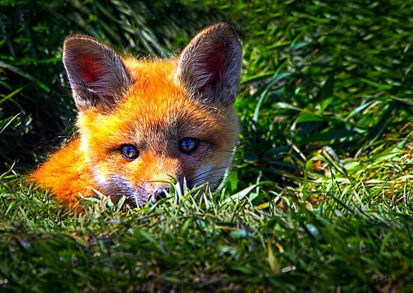 Little Red Fox Print by Bob Orsillo