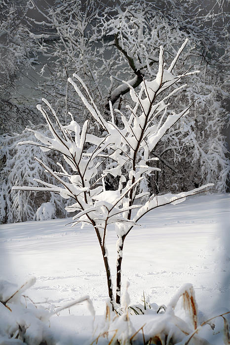 Little Snow Tree Print by Karen Adams