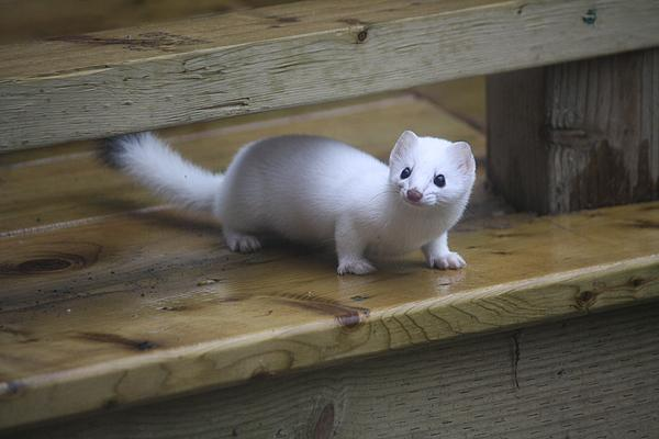 Little White Ferret By Sue Chisholm