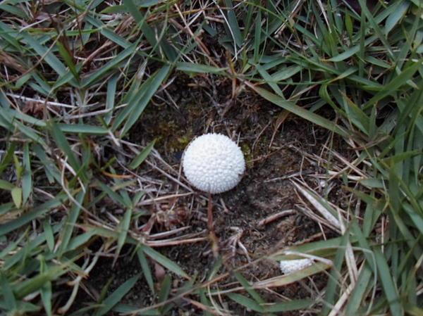 Little White Mushroom Print by Jenna Mengersen