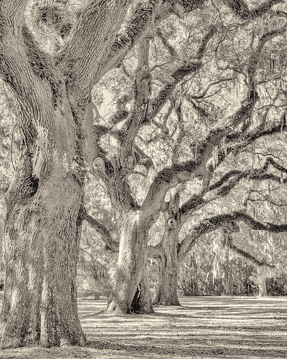 Live Oaks-1 Print by Bill LITTELL