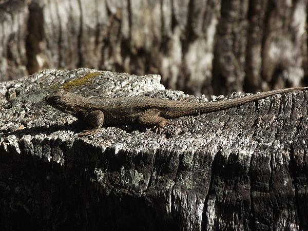 Lizard In Thought Print by James Rishel