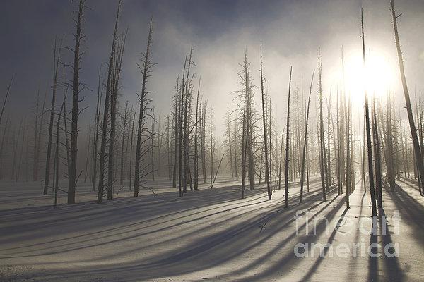 Feryal Faye Berber - Lodgepole Pine Forest at Sunset