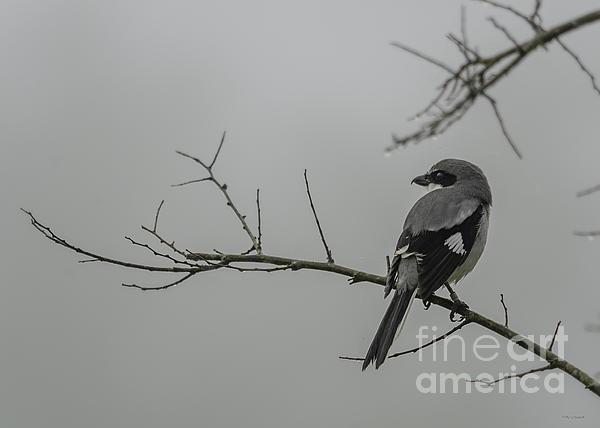 Loggerhead Shrike In Fog Print by Cindy Bryant