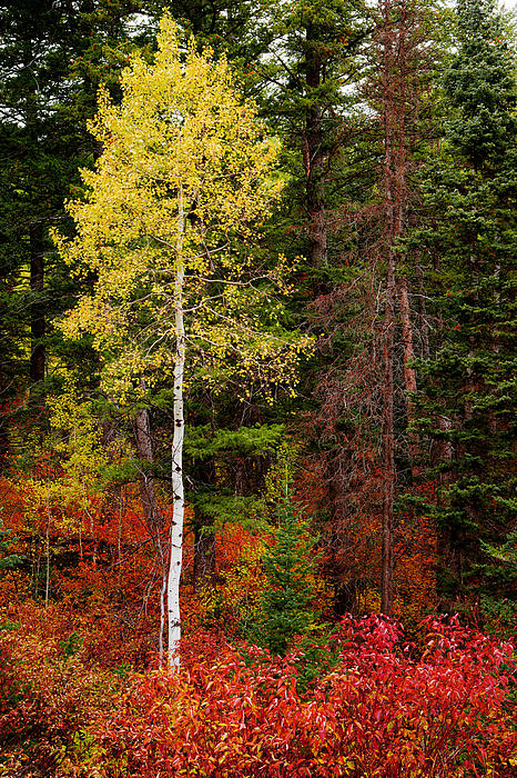 Lone Aspen In Fall Print by Chad Dutson