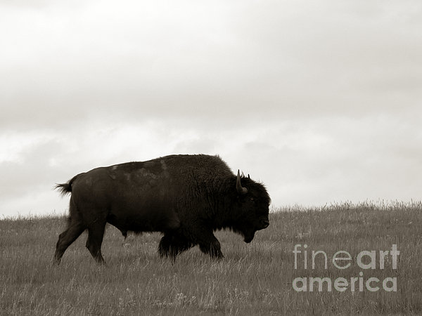 Lone Bison Print by Olivier Le Queinec