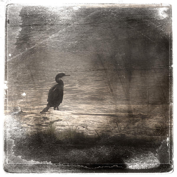 Lone Cormorant Print by Carol Leigh