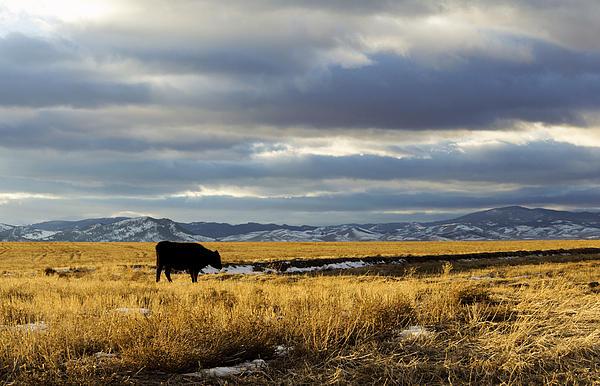 Lone Cow Against A Stormy Montana Sky. Print by Dana Moyer