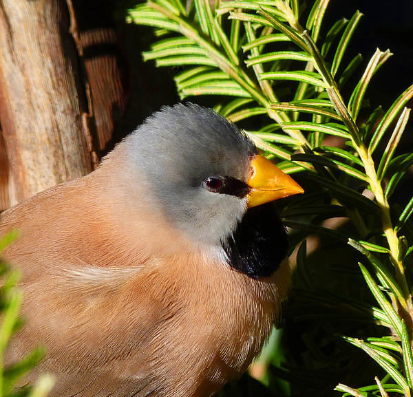 Long-tailed Finch Print by Margaret Saheed