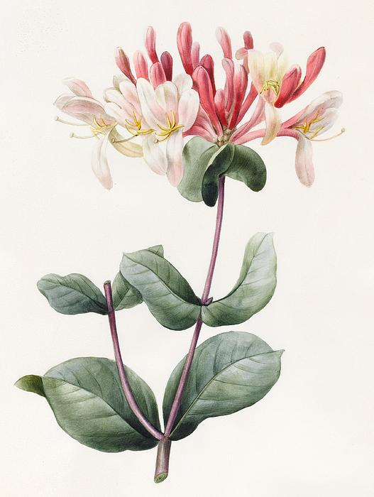 Lonicera Periclymenum  Print by Louise D Orleans