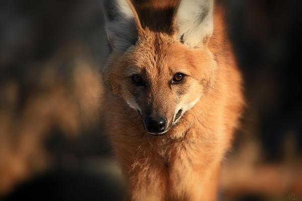 Looks Like A Fox Print by Karol  Livote