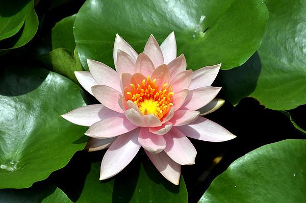 Bliss Of Art - Lotus