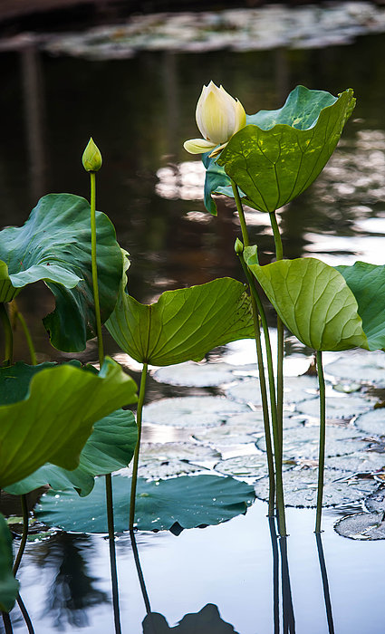 Lotuses In The Pond Print by Jenny Rainbow