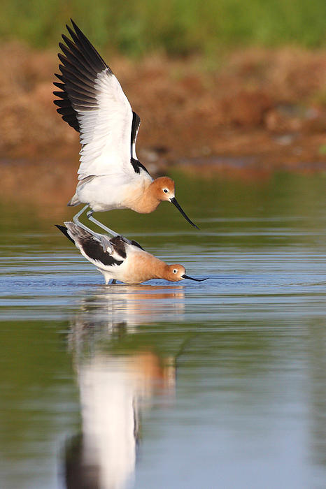Love Avocet Style Print by Ruth Jolly