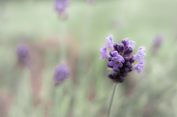 Lovely Lavender Print by Jen Baptist